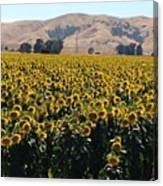 Sunflowers Of Vacaville Canvas Print