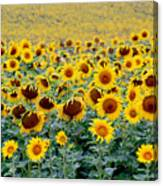 Sunflowers On A Cloudy Day Canvas Print