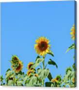 Sunflowers On Blue Canvas Print