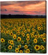 Sunflowers To The Sky Canvas Print