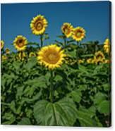 Sunflowers Weldon Spring Mo Ver1_dsc9821_16 Canvas Print