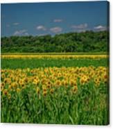 Sunflowers Weldon Spring Mo_dsc9830_16 Canvas Print