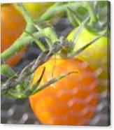 Sungold Tomatoes Canvas Print
