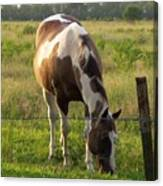 Sunkissed Tobiano Canvas Print
