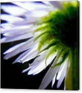 Sunlight And Daisies Canvas Print