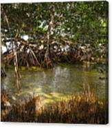 Sunlight In Mangrove Forest Canvas Print