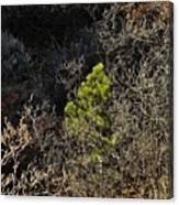 Sunlight On Pine Canvas Print