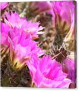 Sunlight On Pink Cactus Blooms Canvas Print