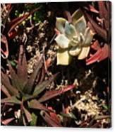 Sunlight On Succulents Canvas Print