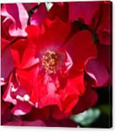 Sunlit Blooms Of Dortmund Hybrid Scots Briar Rose Canvas Print