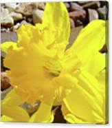 Sunlit Daffodil Flower Spring Rock Garden Baslee Troutman Canvas Print