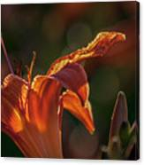 Sunlit Lilly Canvas Print