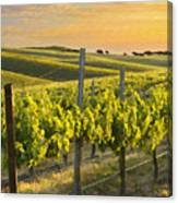 Sunlit Vineyard Canvas Print