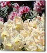 Sunlit Yellow Rhodies Art Print Creamy Rhododendrons Flowers Baslee Troutman Canvas Print