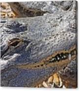 Sunning Alligator 2 Canvas Print