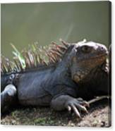 Sunning Gray Iguana Sitting Beside Water Canvas Print