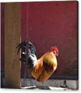 Sunning Rooster Canvas Print