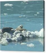 Sunning Seals Canvas Print
