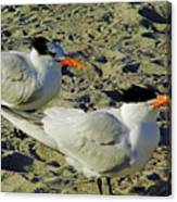 Sunning Terns Canvas Print