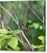 Sunning Zebra Longwing Butterfly Canvas Print