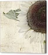 Sunny Albino Sunflower Canvas Print