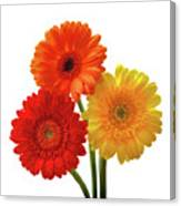 Sunny Gerbera On White Canvas Print