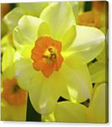 Sunny Narcissus Canvas Print