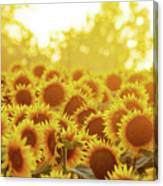 Sunny Sunflower Sunset Canvas Print