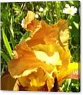 Sunny Wine Iris With Daisies Canvas Print