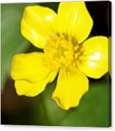 Sunny Yellow Cinquefoil Canvas Print