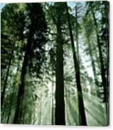 Sunrise Beams N Sequoia Canvas Print