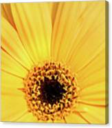 Sunrise Gerbera Canvas Print