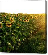 Sunset And Rows Of Sunflowers Canvas Print