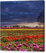 Sunset At Colorful Tulip Field Canvas Print