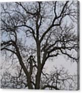 Sunset Hickory Tree Canvas Print