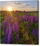 Sunset Over Meadow Of Lupine Canvas Print