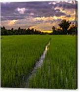 Sunset Rice Fields In Cambodia Canvas Print