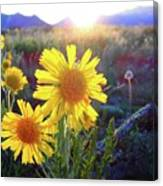 Sunsets And Sunflowers In Buena Vista Canvas Print
