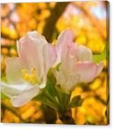 Sunshine On Apple Blossoms Canvas Print