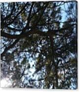 Sunshine Passes Pine  Canvas Print