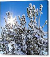 Sunshine Through Snow Covered Tree Canvas Print
