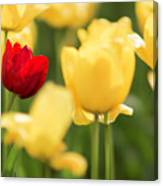 Sunsoaked Tulips #5 Canvas Print