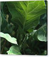 Super-fly Cabbage Canvas Print