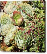 Super Succulents Canvas Print