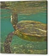 Surfacing Seaturtle Canvas Print