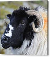 Swaledale Ewe. Canvas Print