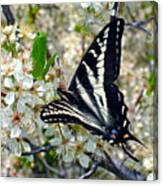 Swallowtail And Plum Blossoms Canvas Print