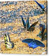 Swallowtail Butterfly Convention Canvas Print