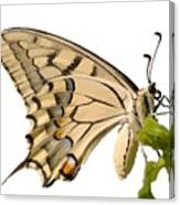 Swallowtail Butterfly Vector Isolated Canvas Print