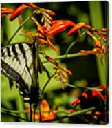 Swallowtail Hanging On The Crocosmia Canvas Print